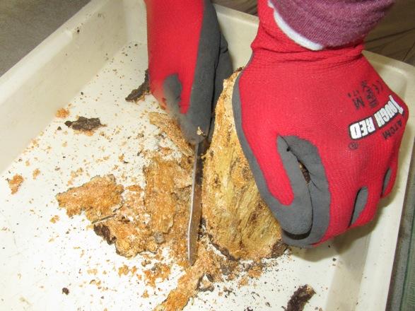 産卵木の樹皮を剥がします。