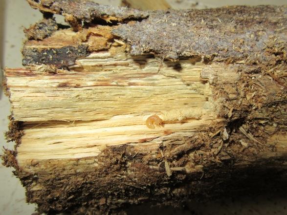 産卵木の端から出て来た初齢幼虫