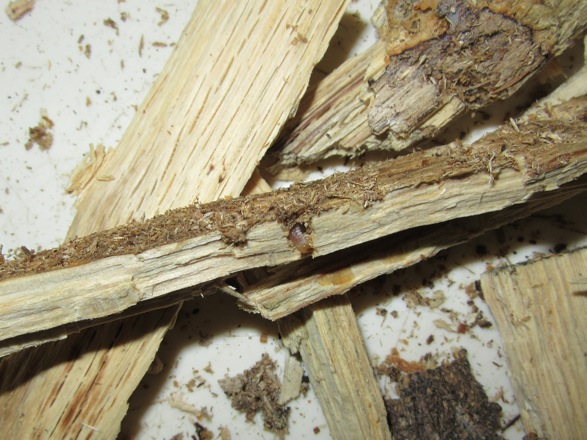 産卵木の破片から顔を出した幼虫です。