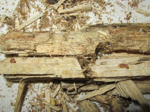 もう一方の朽ち木から出て来た幼虫