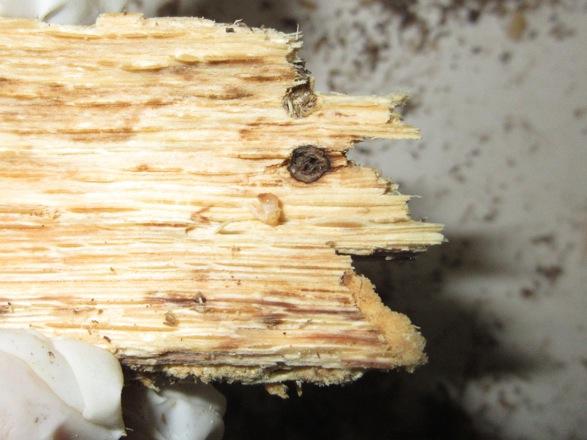 2本目の産卵木から出て来た孵化したばかりの幼虫