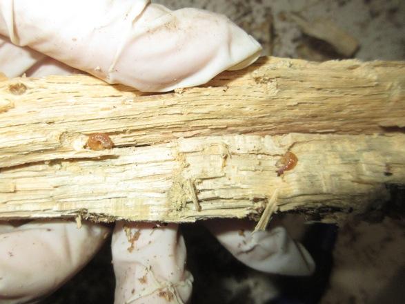 数センチの細かい朽ち木片から出て来た幼虫です。