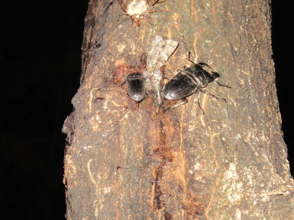 樹液に集まっていたヒラタクワガタのペアです。