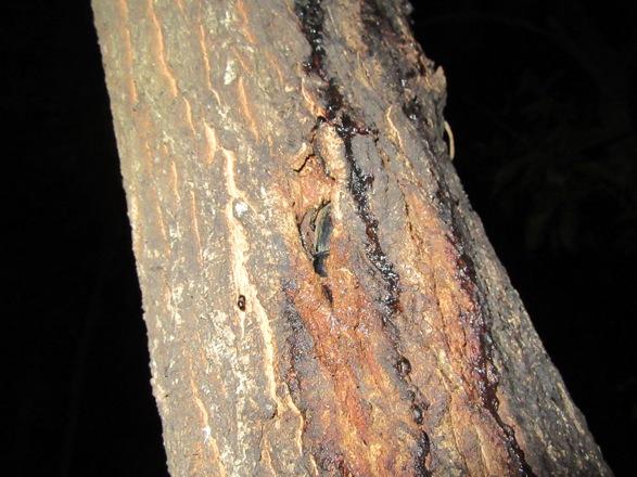樹皮の裂け目に潜り込んでいるヒラタクワガタのメス