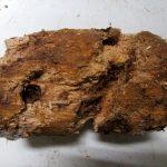 オオクワガタ(佐賀県中原産)の産卵木の割り出し