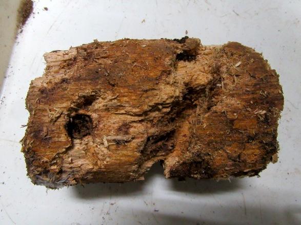 オオクワガタ(佐賀県中原産)に用いた産卵木