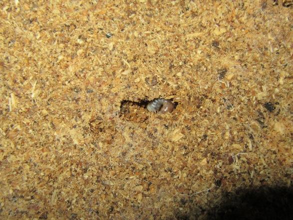 マットの中から出て来たオオクワガタの幼虫