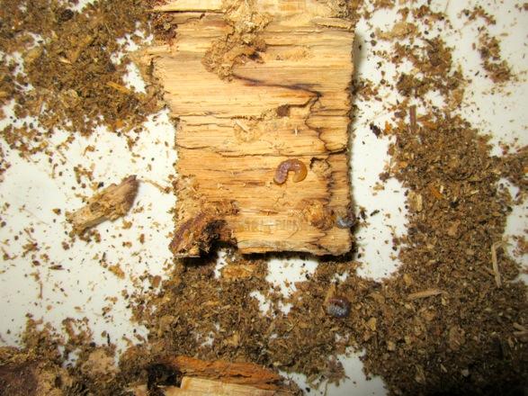 産卵木の表面を剥がして出て来た幼虫達