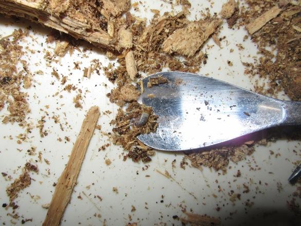 落下した幼虫は、スプーンで回収します。