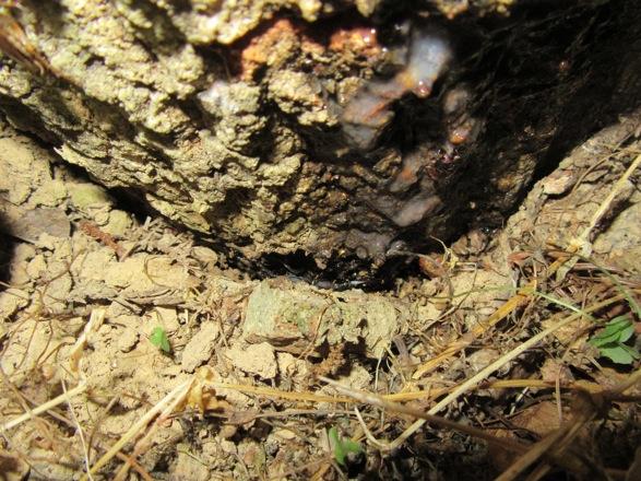 木の根元から出ている樹液に集まるコクワガタ