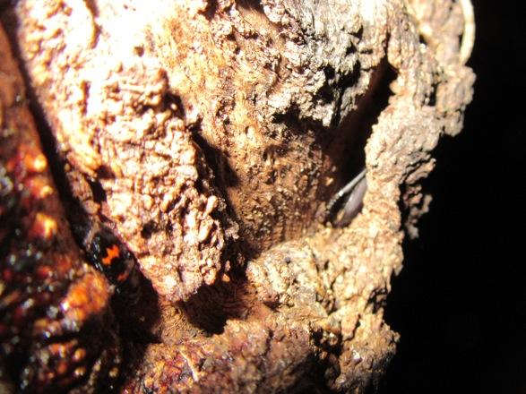 樹皮の裂け目に隠れたコクワガタ