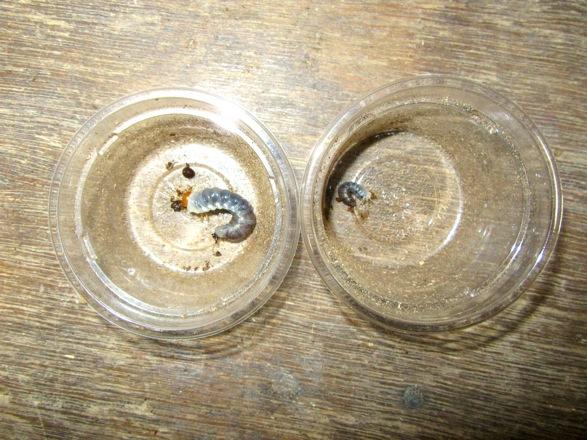 トカラノコギリの初齢幼虫と二齢幼虫