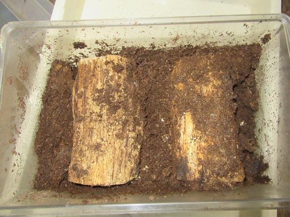 割り出し前のイキヒラタの産卵セット