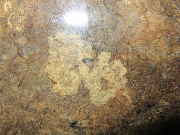 容器の側面から見えるトカラコクワの幼虫