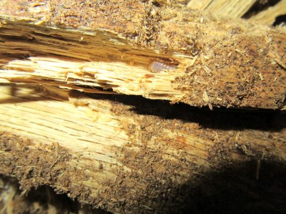 産卵木の木目に沿って潜っている幼虫