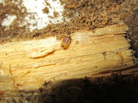 もう一方の産卵木から出て来た幼虫