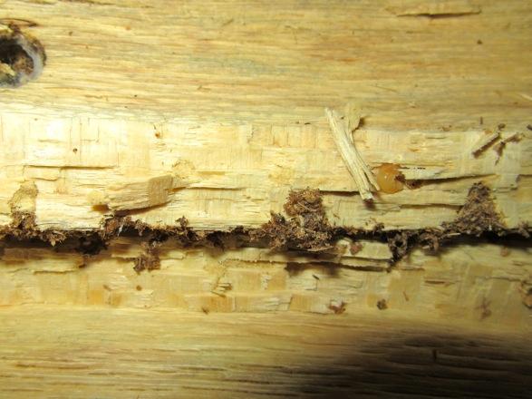 産卵木から出て来たトカラコクワの幼虫