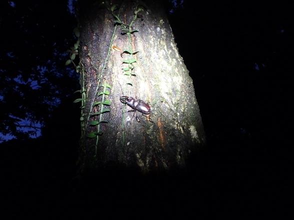 天然の小型のヤクシマノコギリ