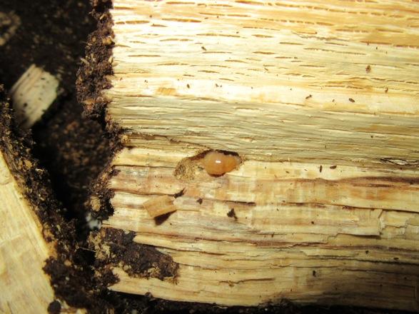 産卵木の端から出て来た幼虫
