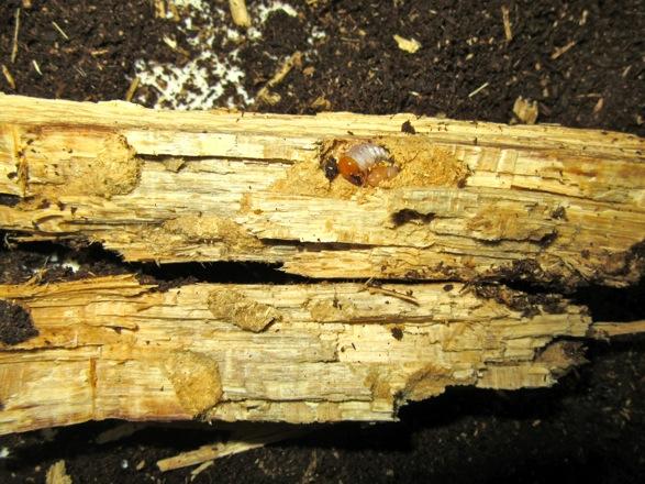 産卵木の破片から出て来た幼虫