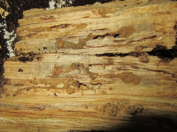 反対側の面から出て来た幼虫と食痕