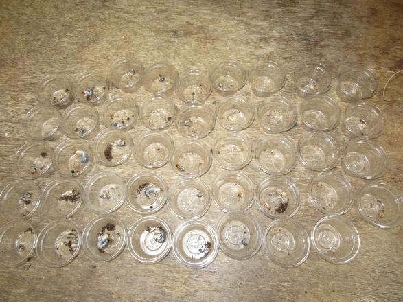 トクノシマノコギリの幼虫の割り出し結果。