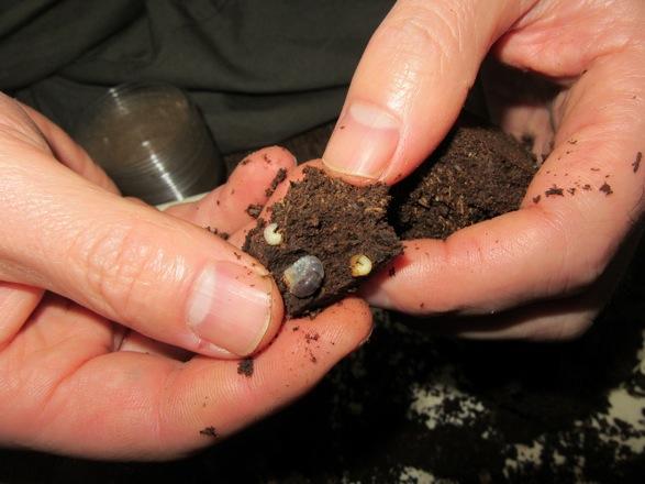 小さなマットの塊から出て来たオキノエラブノコの幼虫