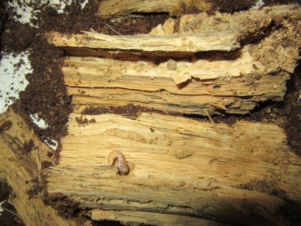 産卵木から出て来たオキノエラブノコギリの幼虫