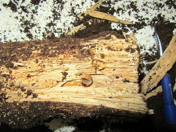 食痕と共に出て来た幼虫