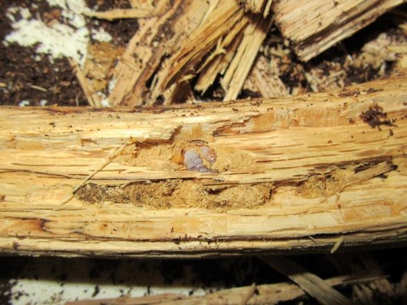 産卵木の芯の付近から出て来た幼虫