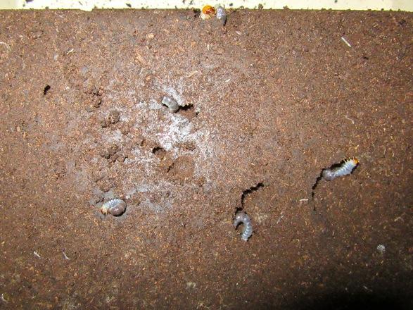 ミシマイオウノコギリの産卵セットをひっくりかえした様子