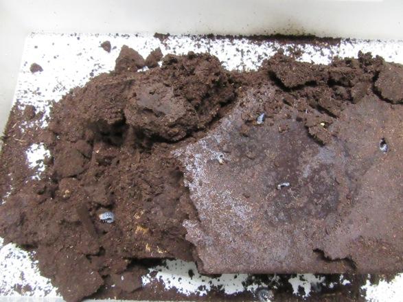 ミシマイオウノコギリの産卵セットから出て来た幼虫