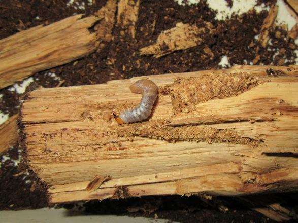 産卵木から出て来た幼虫です。