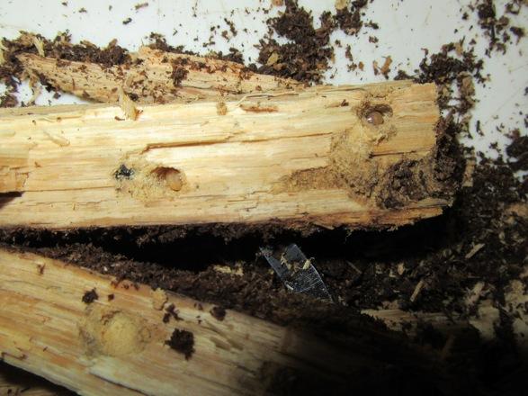 産卵木に穴を空けて潜っている幼虫