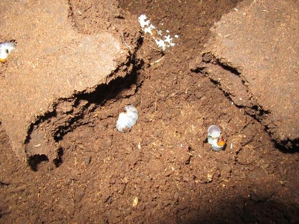 マットの塊の中から出て来た幼虫