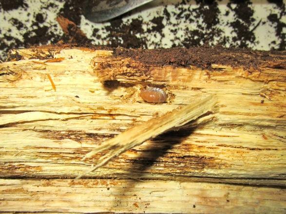 産卵木から出て来たヤエヤマノコギリの幼虫です。