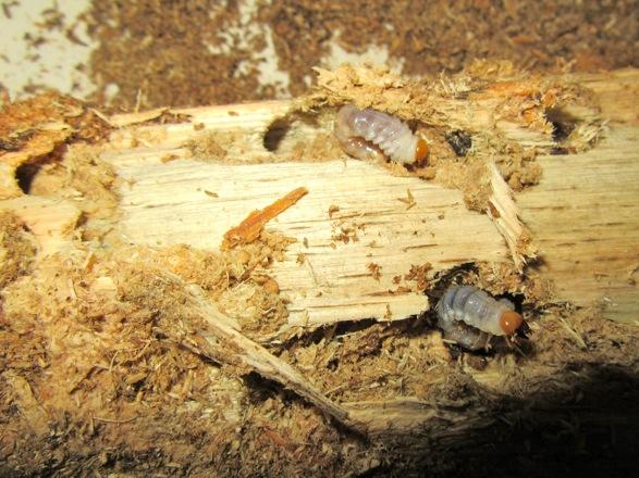 産卵木から出て来た二齢幼虫