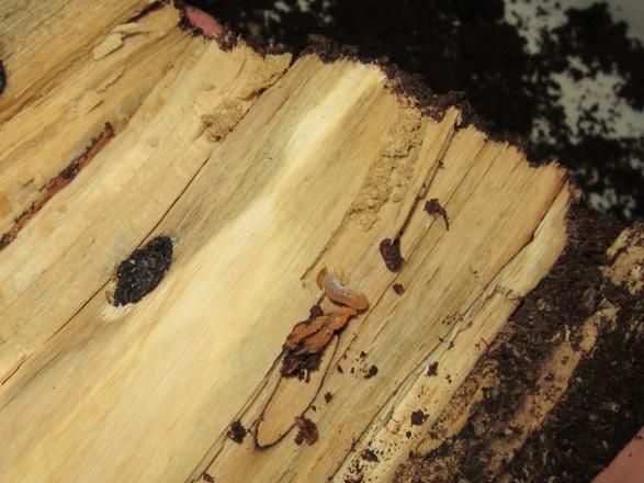 産卵木から出て来たクチノエラブノコギリの幼虫です。
