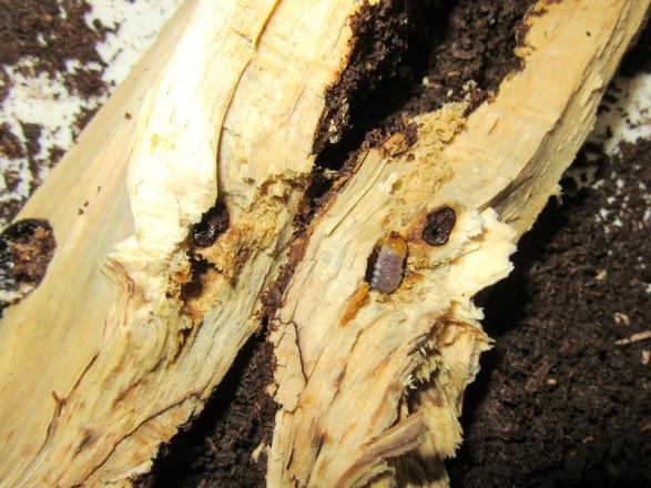 産卵木の中心付近から出て来た幼虫