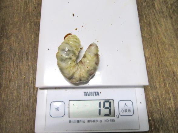 ヒラタクワガタ(福岡県福津市産)の終齢幼虫