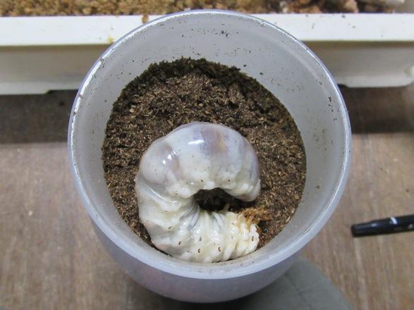 ヒラタクワガタ(宮崎県産)の幼虫をマットボトルに入れました。