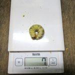 コクワガタの仲間の幼虫の菌糸ビン交換