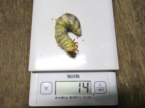 クチノエラブノコギリクワガタの終齢幼虫