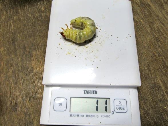 国産ノコギリクワガタの幼虫