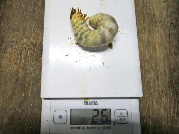 トクノシマヒラタクワガタの終齢幼虫