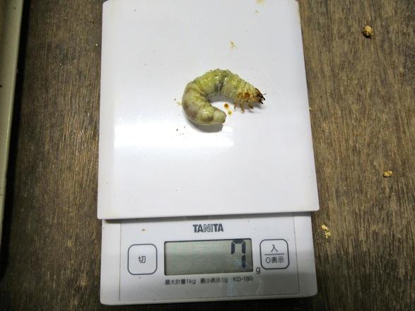 ヤクシマコクワガタの終齢幼虫