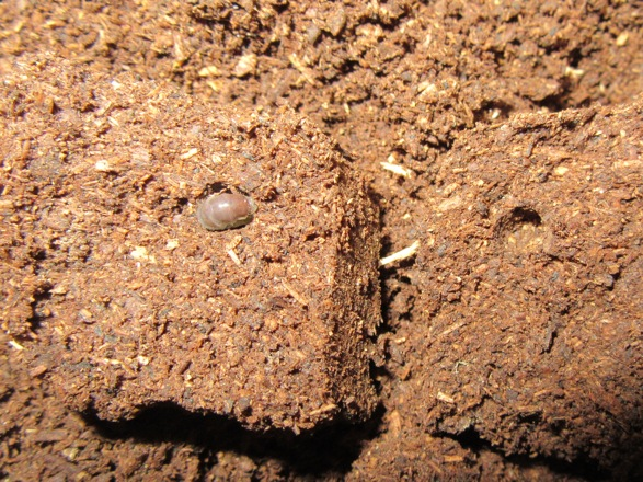 マットの塊の中にいた本土ヒラタの幼虫