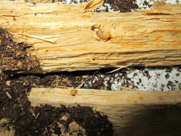 産卵木の中にも幼虫がいました