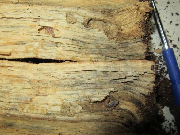 本土ヒラタの幼虫の食痕