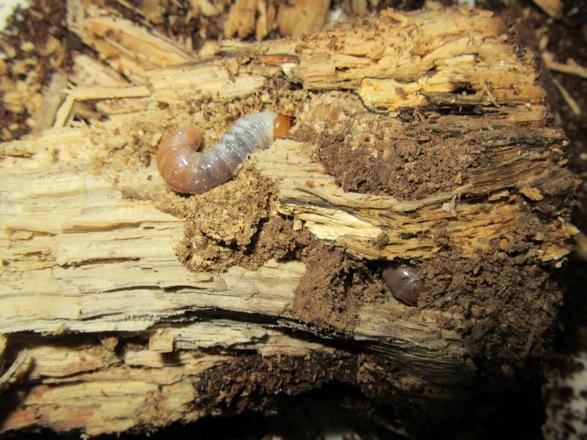 産卵木の中心から出て来た本土ヒラタの二齢幼虫